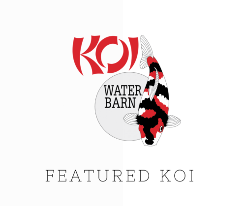 Featured Koi of the Week